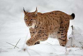 Lynx en Côte-d'Or