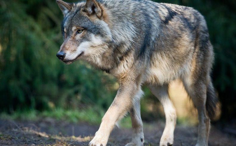 Changement de gouvernement mais pas de méthode : la France tue de plus en plus de loups au lieu d'organiser la cohabitation