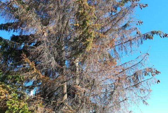 Attaque massive des scolytes sur les épicéas